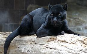 Картинка кошка, взгляд, морда, пантера, черная, лежит, смотрит, дикая, на бревне