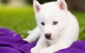 Картинка белый, щенок, голубые глаза, Сибирский хаски