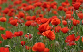 Картинка поле, цветы, красные маки