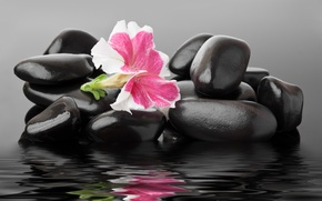 Картинка цветок, вода, камешки, spa