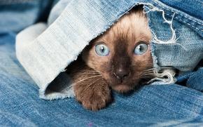 Картинка глаза, кот, взгляд, голубые