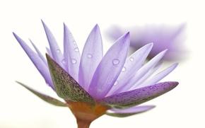 Картинка цветок, вода, капли, природа, роса, лепестки