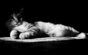 Обои нос, Кот, лапы, чёрно-белая