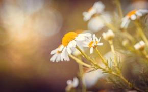 Картинка зелень, цветок, лето, макро, цветы, камни, ромашки, Ромашка