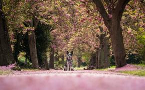 Обои австралийский хилер, Австралийская пастушья собака, аллея, природа, деревья, лепестки, собака
