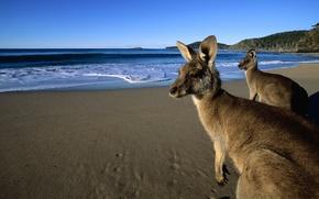 Картинка песок, пляж, глаза, вода, горы, шерсть, кенгуру, красивые, прыгуны