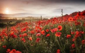 Картинка поле, пейзаж, природа, маки, утро