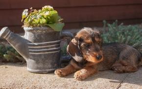 Картинка цветы, фон, widescreen, обои, собака, щенок, лежит, wallpaper, puppy, широкоформатные, dog, flowers, background, полноэкранные, HD …
