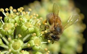 Картинка цветок, нектар, пчела, макросьемка