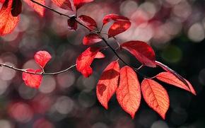 Картинка макро, ветка, листва, блики, красная, осень