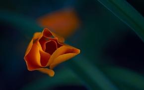 Картинка цветок, макро, оранжевый, лепестки, эшштольция калифорнийская