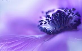 Картинка цветок, макро, сиреневый, размытость, Анемона