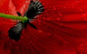 Картинка цветок, макро, мак