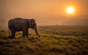 Картинка туман, восход, слон, саванна