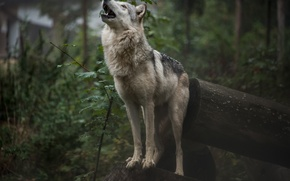 Картинка лес, природа, волк, воет, by fallen-cherubim