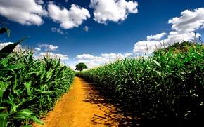 Обои pathway, природа, растения, дорога, поле, небо, road, corn fields, кукурузные поля, пейзаж