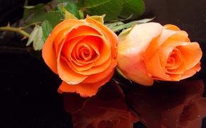Обои фото, Розы, Цветы, Оранжевый, Две