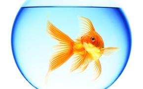 Картинка вода, отражение, круглый, аквариум, золотая рыбка, белый фон, плавает