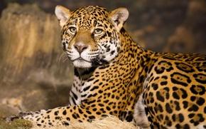 Картинка взгляд, морда, отдых, хищник, ягуар