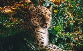 Обои амурский леопард, хищник, морда, дикая кошка
