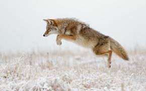 Картинка зима, трава, снег, нападение, койот, прыгать