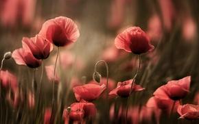 Картинка цветы, мак, маки, розмытия