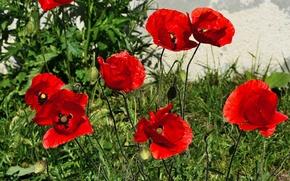 Картинка маки, весна, красные, red, Spring, poppy