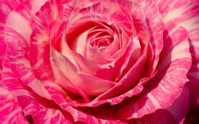 Обои бутон, макро, лепестки, роза