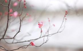 Картинка макро, вишня, веточка, розовая, весна, сакура