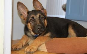 Картинка щенок, уши, немецкая овчарка