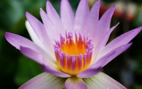 Картинка цветок, фиолетовый, капли, макро, лилия, лепестки, кувшинка, водяная