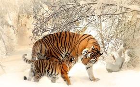 Картинка зима, кошка, снег, тигр, тигренок