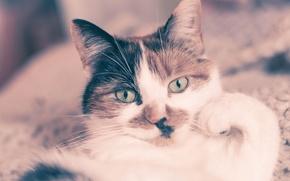 Картинка кошка, уши, лицо, кровать, глаза