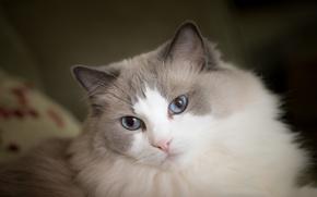 Картинка Рэгдолл, пушистая, голубые глаза, мордочка, взгляд, кошка