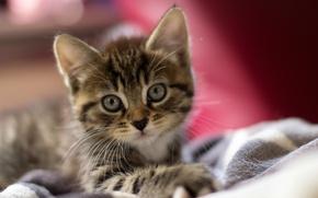 Обои макро, мордашка, шерсть, котёнок, уши, глаза, кот