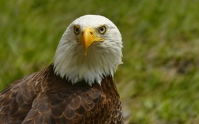 Картинка Белоголовый Орлан, портрет, взгляд, птица, орел