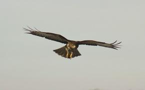 Картинка полет, фон, птица, обои, скорость, крылья, перья, клюв, когти, коричневый, ястреб