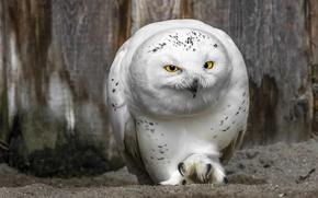 Картинка сова, клюв, жёлтые глаза