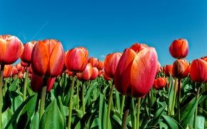 Обои лепестки, луг, природа, весна, небо, тюльпаны, листья