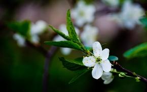 Картинка зелень, белый, цветок, листья, макро, вишня, цвет, ветка, весна, размытость, зеленые, цветение