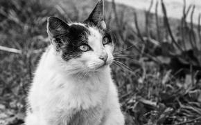 Картинка кот, взгляд, настроение, деревня, живность, чб, васька