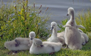 Картинка птицы, лебеди, птенцы