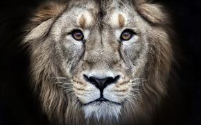 Обои eyes, fur, leon