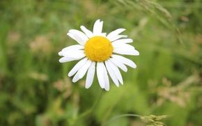Картинка цветы, ромашки, Луг