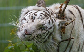 Картинка кошка, взгляд, белый тигр, голубые глаза, ©Tambako The Jaguar, морда