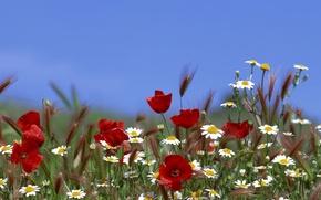 Обои маки, небо, ромашки, колосья, красные