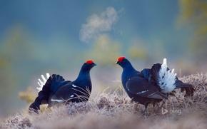 Картинка птица, Швеция, тетерев, Бергслаген