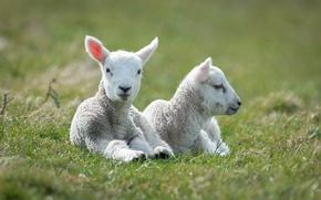 Картинка овцы, белые, два, лежат, ягнята