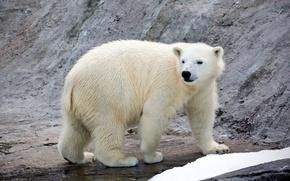 Картинка хищник, белый медведь, полярный