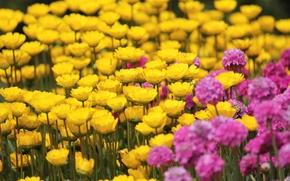 Картинка поле, цветы, желтый, фон, розовый, widescreen, обои, wallpaper, цветочки, широкоформатные, background, полноэкранные, HD wallpapers, широкоэкранные, …